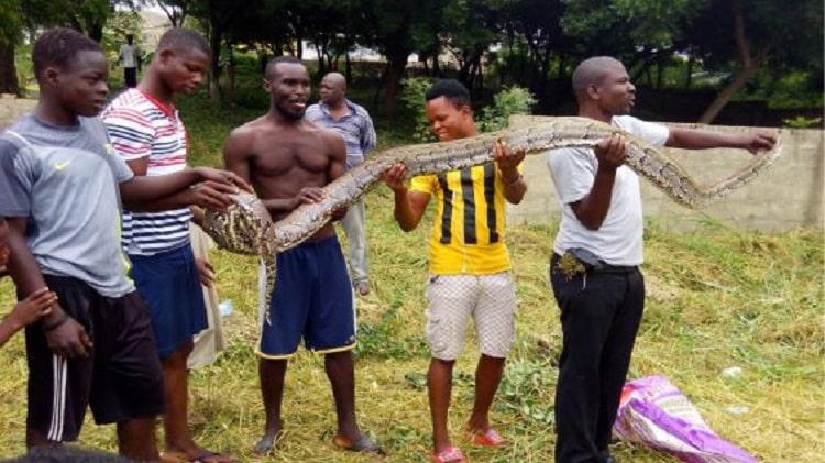 snake killed at kasoa toll booth